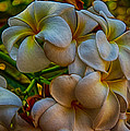 Plumeria Bunch by Omaste Witkowski