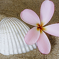 Plumeria Flower And Sea Shell by Susan Candelario