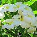 Plumeria Greeting The Morning by Mary Deal