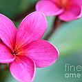 Plumeria In Pink by Sabrina L Ryan