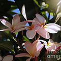 Plumeria by Micki Findlay