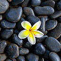 Plumeria Pebbles by Sean Davey