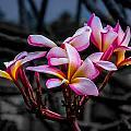Plumeria Rainbow Ali by Tex Wantsmore