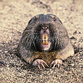 Pocket Gopher Chatting by Angela Stanton