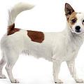Podengo Portuguese Dog by Jean-Michel Labat