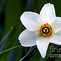 Poet's Daffodil by Torbjorn Swenelius