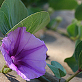 Pohuehue - Pua Nani O Kamaole Hawaii - Beach Morning Glory by Sharon Mau