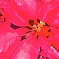 Poinsettia 1 by Pamela Cooper