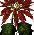 Poinsettia A Traditional Christmas Plant Vintage Poster by R Muirhead Art