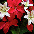 Poinsettia And Lilies by Sandy Keeton