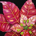 Poinsettia by Carol Sabo