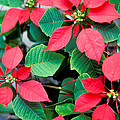 Poinsettia Flowers by Anonymous