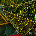 Poinsettia Green Leaf by Dave Bosse