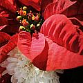 Poinsettia In Bloom by Robin Lewis