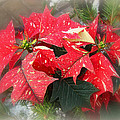 Poinsettia In Red And White by Mother Nature