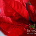 Poinsettia by Linda Shafer