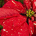 Poinsettia by Phyllis Taylor