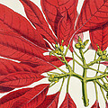 Poinsettia Pulcherrima by WG Smith