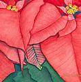 Poinsettia by Sandra Neumann Wilderman