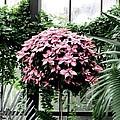Poinsettia Tree Longwood Gardens by Angela Davies