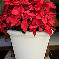 Poinsettias In A Planter by Mary Deal