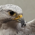 Point Defiance Gryfalcon by Wes and Dotty Weber