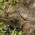 Pointed Nose Florida Softshell Turtle - Apalone Ferox by Kathy Clark