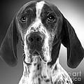 Pointer Dog by Jean-Michel Labat