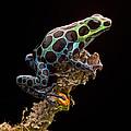 poison arrow frog Peru rain forest by Dirk Ercken