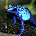 Poison Blue Dart Frog by Optical Playground By MP Ray