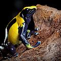 Poison Dart Frog by Dirk Ercken