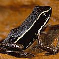 Poison Dart Frog Portrait Amazonian by Mark Moffett