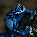 Poisonous Blue Frog 02 by Thomas Woolworth
