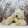 Polar Bear And 3 Month Old Cubs by Matthias Breiter