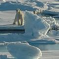 Polar Bear And Cub by Kelley Elliott