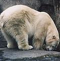 Polar Bear At Zoo by Myrna Walsh