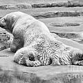 Polar Bear Bw by Chuck Kuhn
