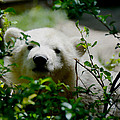 Polar Bear Cub by Tracy Winter