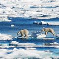 Polar Bear Cubs In Svalbard by June Jacobsen