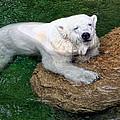 Polar Bear by David Sanchez
