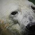 Polar Bear by Ernie Echols