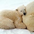 Polar Bear Mother & Cub by Dan Guravich