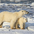 Polar Bear Mother And Cub by Carole-Anne Fooks