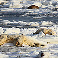 Polar Bear Mother And Cub Grooming by Carole-Anne Fooks