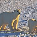 Polar Bear Mother And Cub On Ice by Randy Green