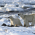 Polar Bear Mother And Cub Sniffing The Air by Carole-Anne Fooks