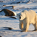Polar Bear On The Tundra by Carole-Anne Fooks