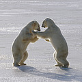 Polar Bear Pair Sparring Churchill by Flip Nicklin