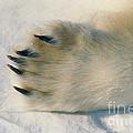 Polar Bear Paw by Dan Guravich