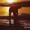Polar Bear by Ron Sanford